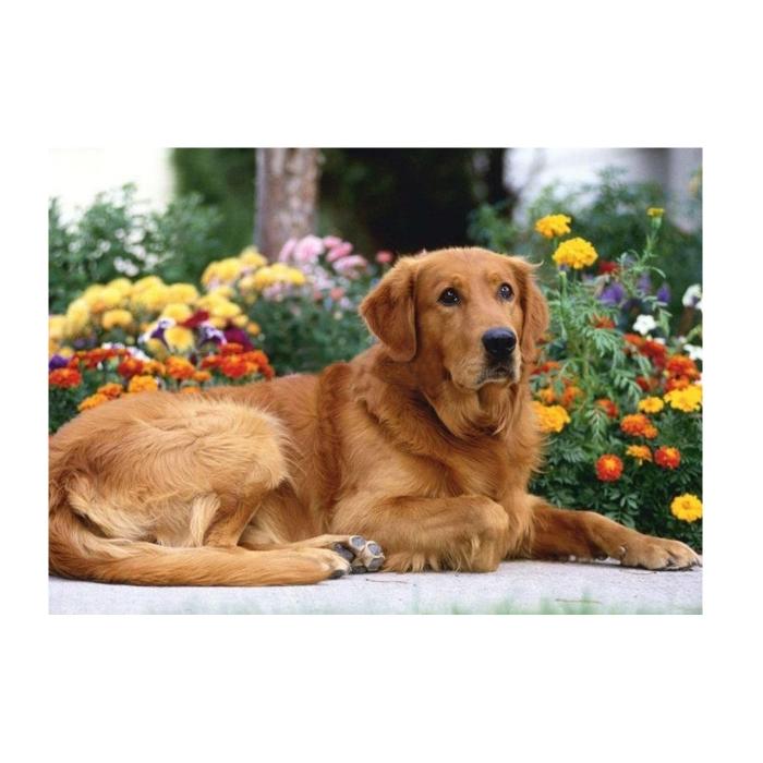 Картина по номерам с цветной схемой на холсте Molly арт.KK0602 Золотистый ретривер (18 цветов) 30х40 см