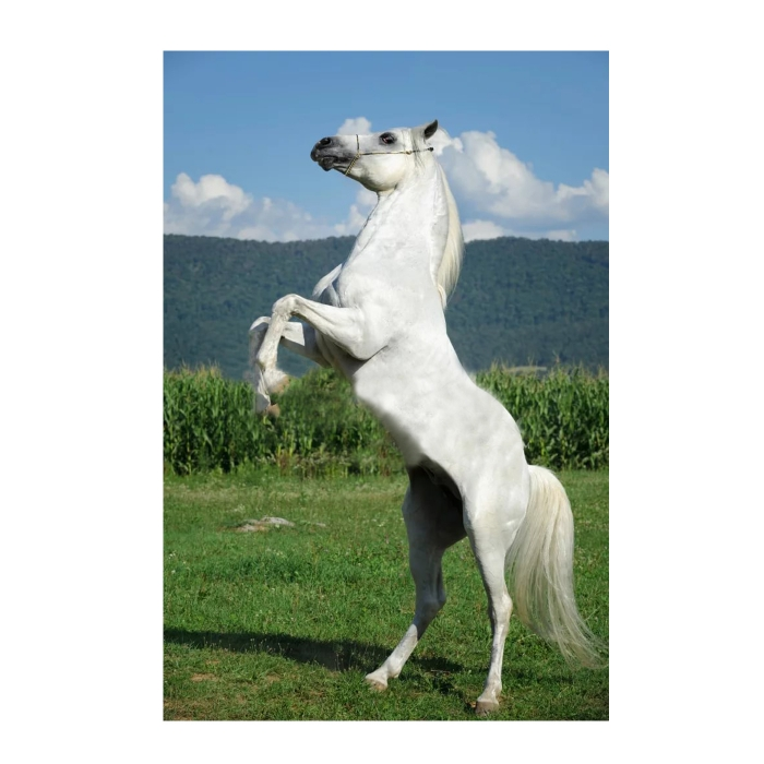 Картина по номерам с цветной схемой на холсте Molly арт.KK0616 Белый конь (19 цветов) 30х40 см